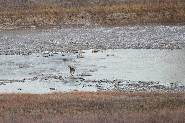 whitetail standing in river bed