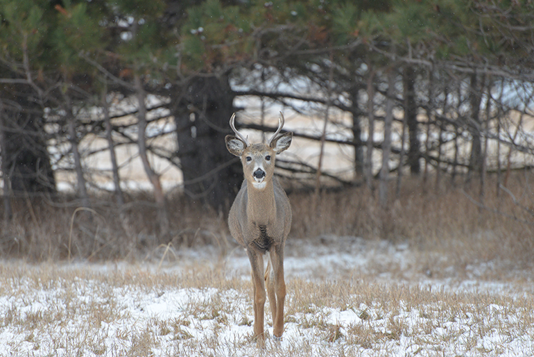 young late season whitetail buck