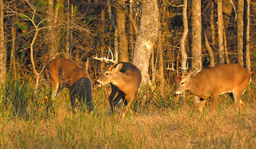 These recent findings can help you better manage your buck population.