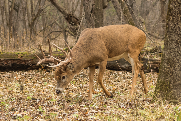 Facts and Fiction of the Deer Rut
