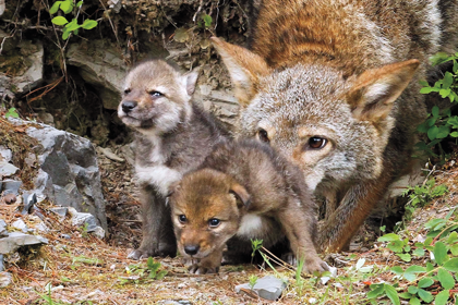 Animals such as coyotes and bears may not have the impact you think.