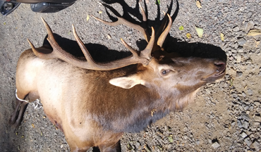 The morning after it was originally hit, a wounded bull elk charged and gored a hunter in the neck.