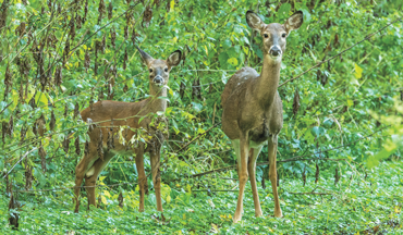 Are deer-reduction efforts hurting the general whitetail population more than the disease itself?