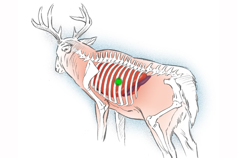 quartering away shot placement on deer illustration