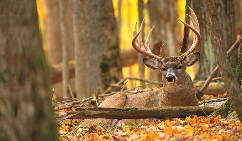 Should You Hunt Buck Bedding Areas?