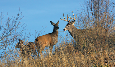 Understanding these phases can help you fine-tune your hunting strategy to specific stages of rutting behavior.