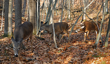 Stay at home or leave and roam — which strategy provides the best results for a breeding buck?