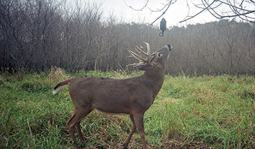 Deer have at least 7 glandular areas that secrete different odorous compounds.