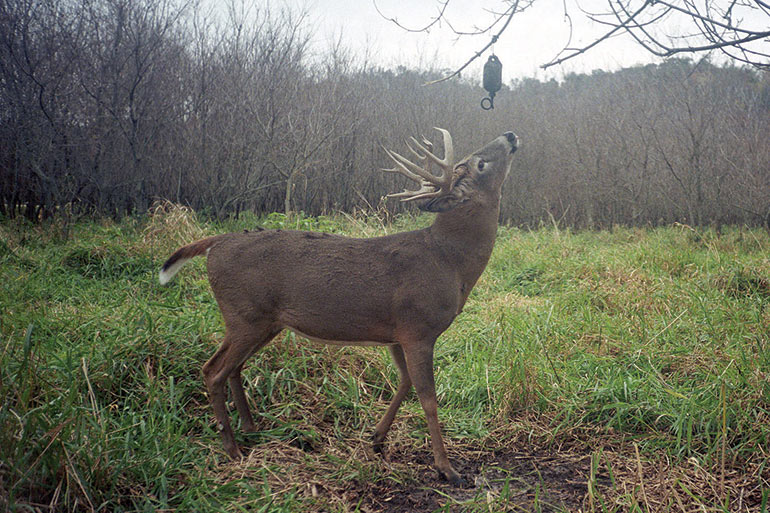 The Science Behind Whitetail Scent Glands