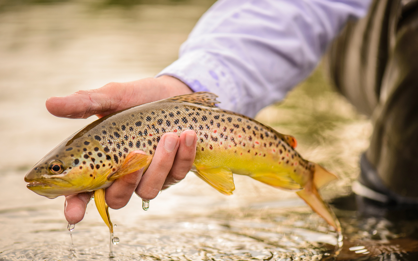 //content.osgnetworks.tv/flyfisherman/content/photos/Brown-Trout-South-Holston.jpg