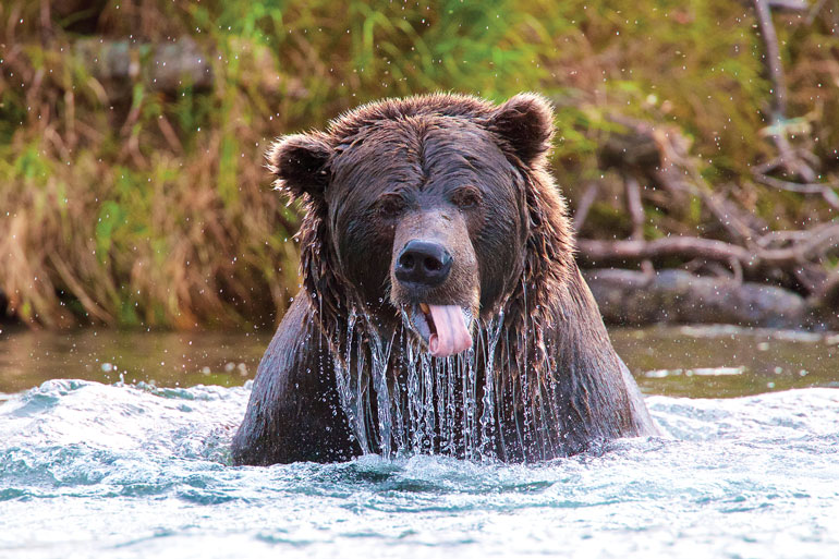 //content.osgnetworks.tv/flyfisherman/content/photos/Grizzly-Bear-Bristol-Bay-Alaska.jpg