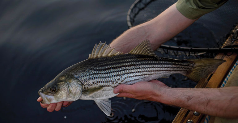//content.osgnetworks.tv/flyfisherman/content/photos/Miramichi-Striped-Bass-Release.jpg