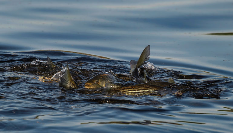 //content.osgnetworks.tv/flyfisherman/content/photos/Miramichi-Striped-Bass-Spawning.jpg