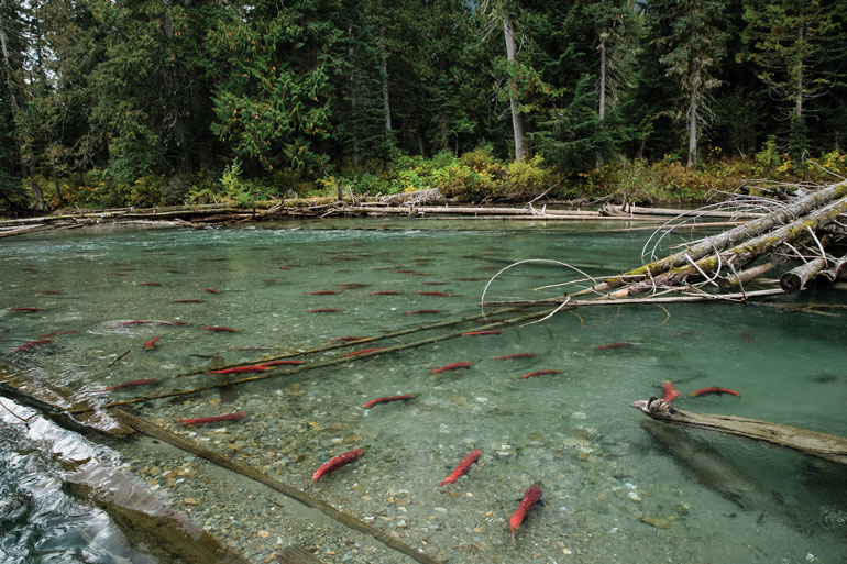 //content.osgnetworks.tv/flyfisherman/content/photos/Quesnel-Lake-Watershed-Salmon.jpg
