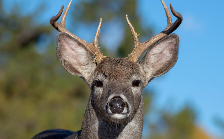 Hunters can leave the snow behind and hunt a Coues whitetail buck in the desert Southwest.
