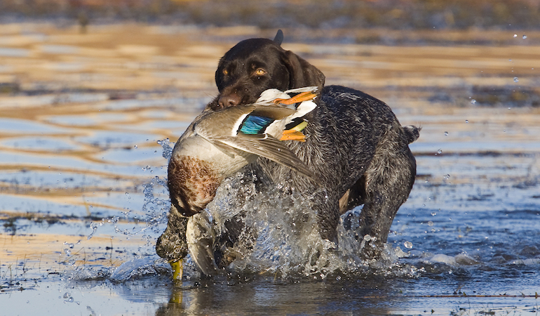 It can be frustrating when a dog just can't be guided to a downed bird, which is why you need to try to see things from its point of view.