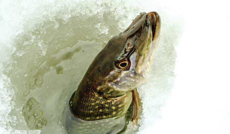 Use these techniques to increase your chances of catching a trophy pike.