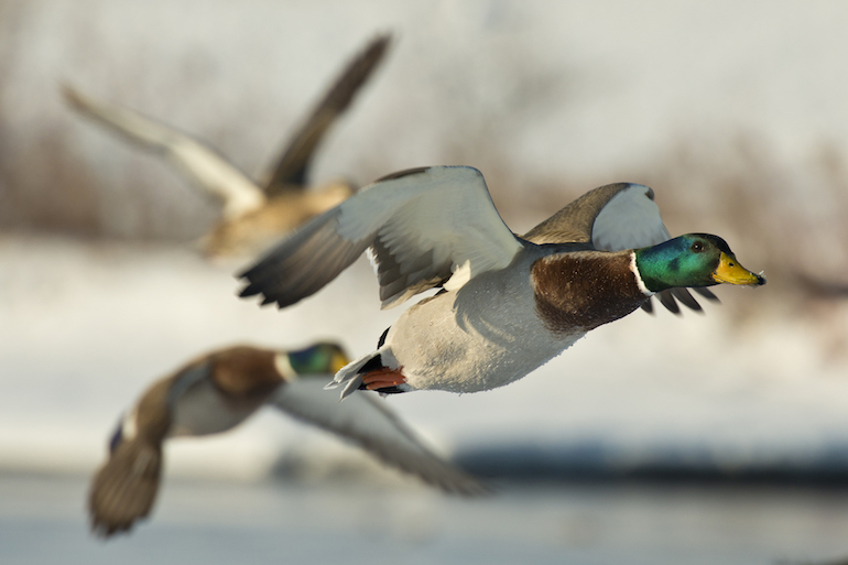 Here are some strategies to help make your public land puddle duck hunt more productive.