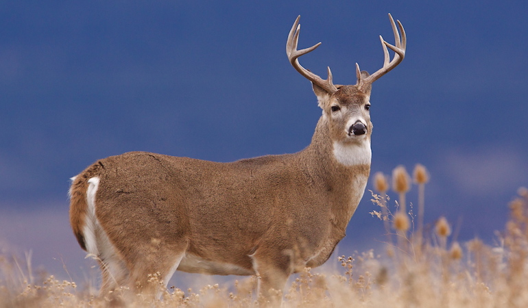 Idaho whitetails are found aside elk and moose, and sometimes they wear antlers just as awe-inspiring.