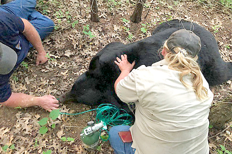 'Bruno' the Bear Safe After Epic Trip