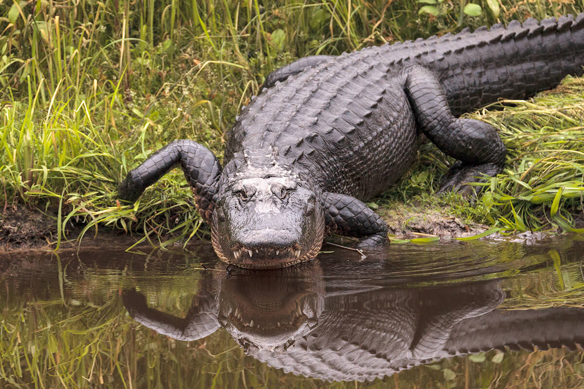Once Endangered, the American Alligator Survived Potential Disaster Thanks to Conservation Efforts