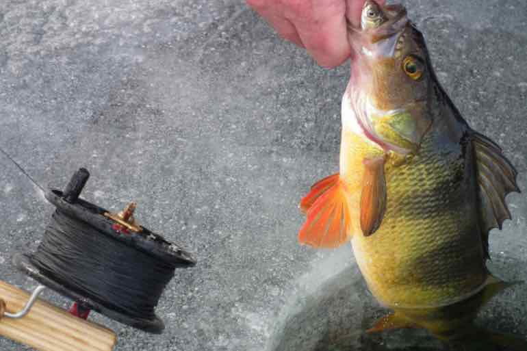 5 Baits for Winter Yellow Perch and How to Fish Them