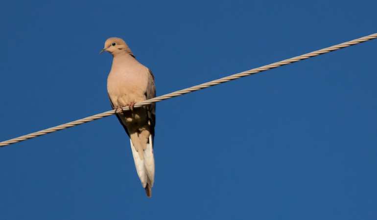 Texas Hunters Can Expect Banner Dove Season for 2019