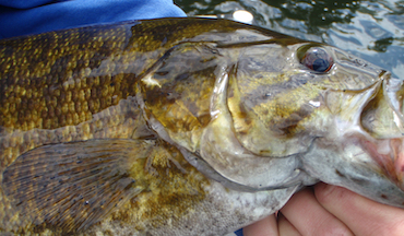 Employ these expert tips for world-class smallmouth bass fishing in rivers and streams.