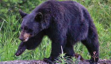 Bear-hunting regulations vary widely throughout the West. Are these differences necessary?