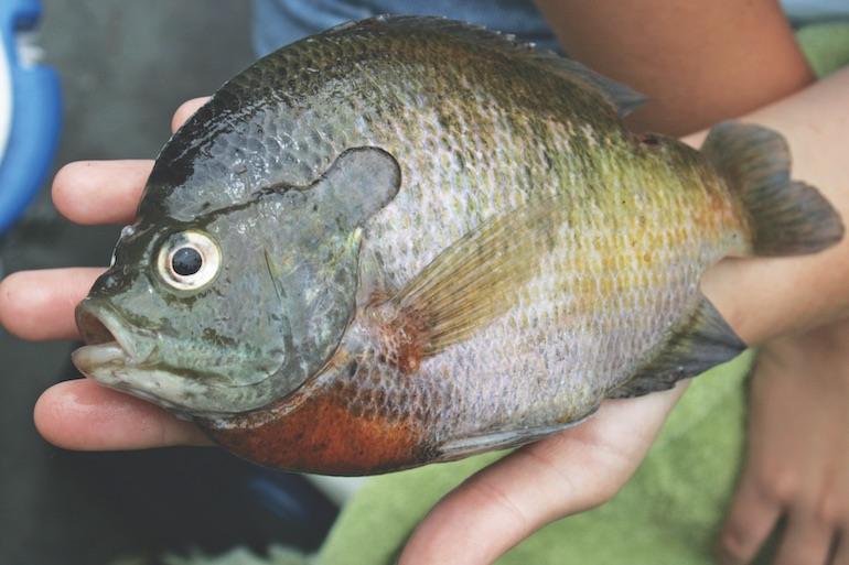 South Bluegills