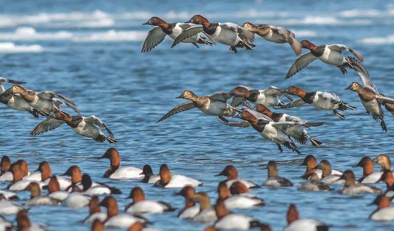 The canvasback is often considered the king of North American waterfowl.