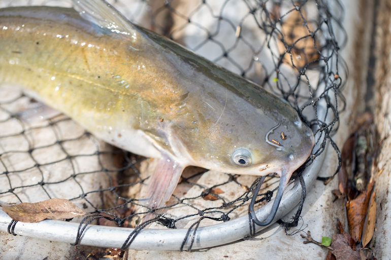 Midwest Hotspots for Channel Catfish