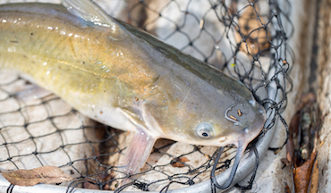 When the weather turns sultry, these Midwest locales offer prime action for channel catfish.