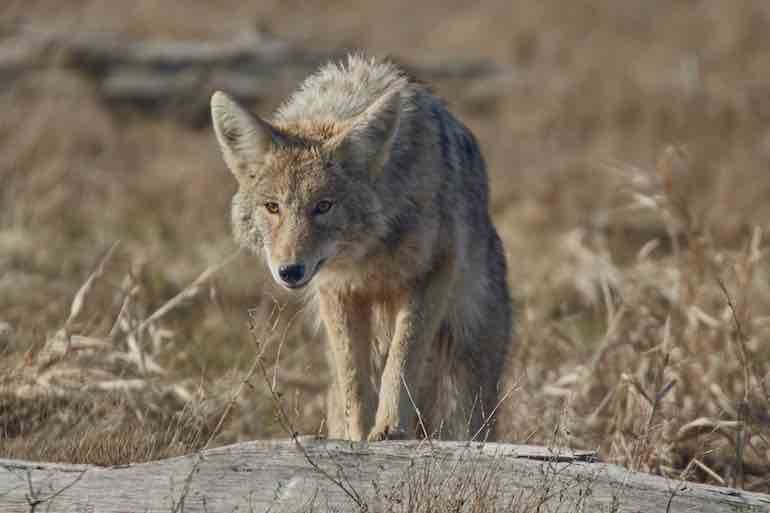 Try these two killer tactics for taking Southern coyotes.