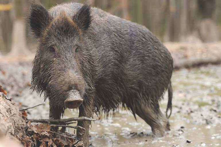 As winter food sources dwindle, hogs move more often. Here's how to be at the right place at the right time.