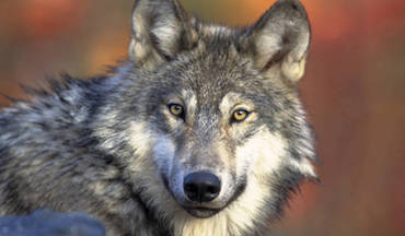 As vote for wolf reintroduction in Colorado nears, issues raised over the predator's impact.