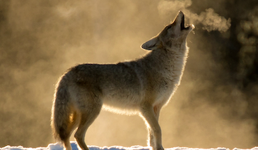 Tips on using coyote vocalizations to your advantage.