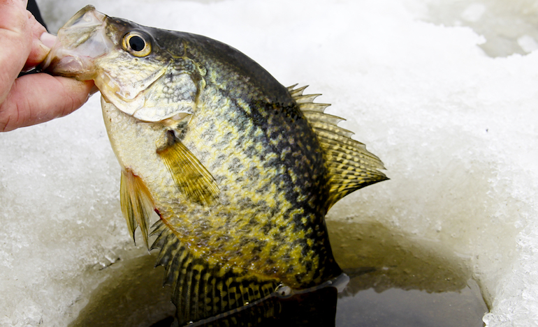 Late Ice Crappie