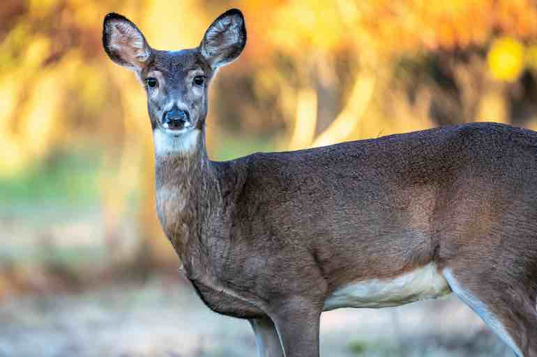 Most major deer-urine scent companies are adopting the technology.