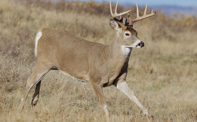 Deer Urine Based Scent Products Banned