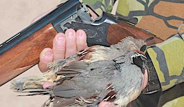 Hunting western quail is not only possible without canine assistance, you're sometimes better off without it.