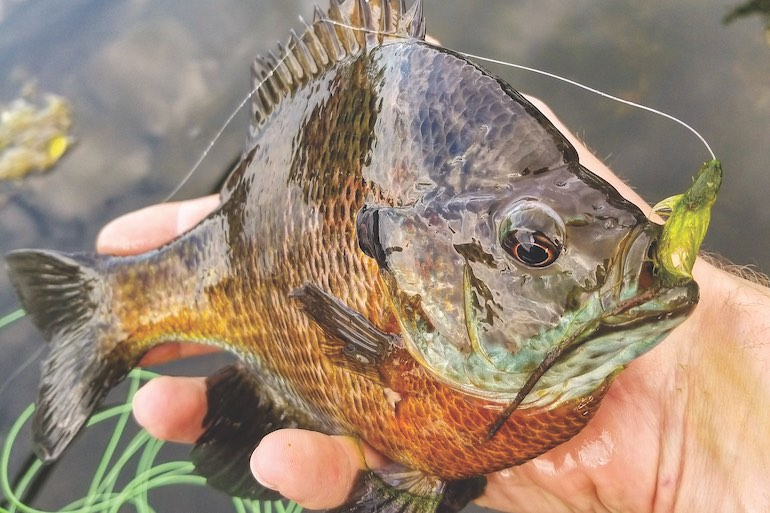 Where Have All the Big Bluegills Gone?