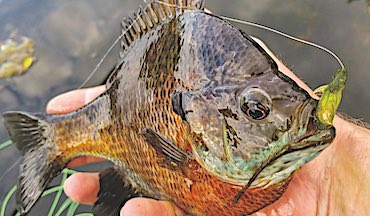 In many Upper Midwest lakes, the average size of bluegills has decreased. Is selective harvest to blame?