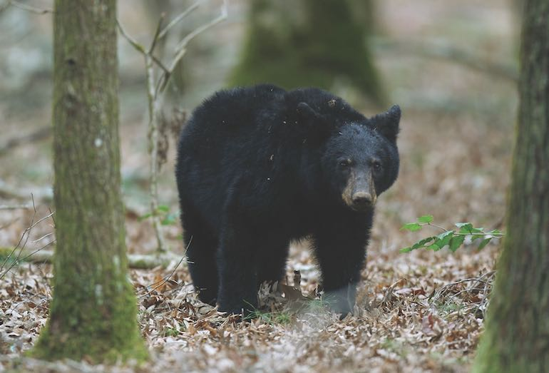 With populations at all-time highs across much of the region and expanded seasons in some areas, hunters should find plenty of bears this fall.