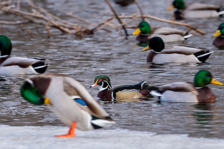 Freeze-Up Ducks