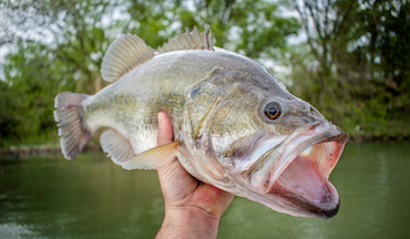 Now's the time to throw those huge plastic worms to catch big largemouth bass.