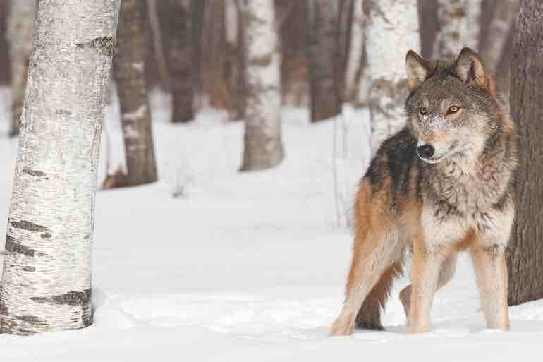 U.S. Fish and Wildlife Service has proposed delisting gray wolves from the Endangered Species Act.