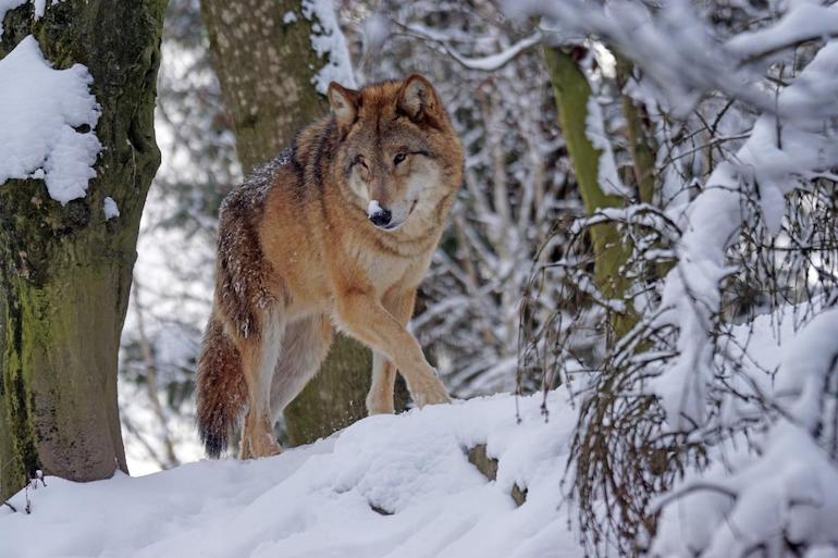 Groups Applaud Gray Wolf Recovery, Delisting as Threatened Species
