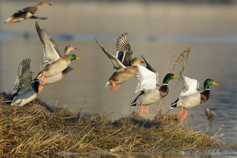 At Issue: Greenbacks for Greenheads (and Other Game)