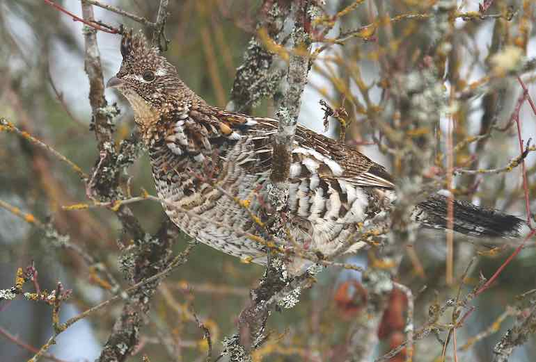 Tips & Tricks for More Eastern Ruffed Grouse this Season